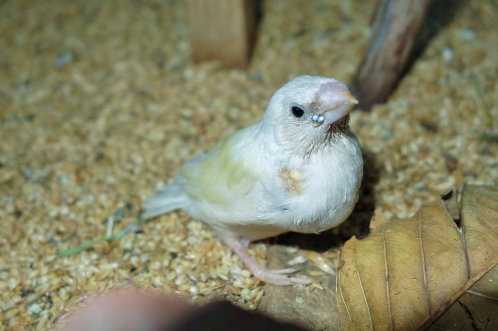 Gouldian baby kicked out of the nest box