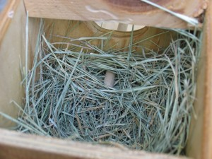 gouldian finch wooden nest box with nesting bermuda grass setup